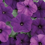 Wave Petunia - Easy Wave Blue